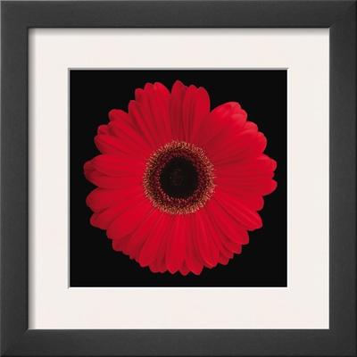 Gerbera Daisy Red Prints by Jim Christensen