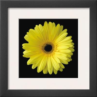 Gerbera Daisy Yellow Posters by Jim Christensen