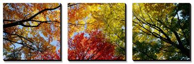 Árboles coloridos en otoño, otoño, vista desde abajo Conjunto de lienzos