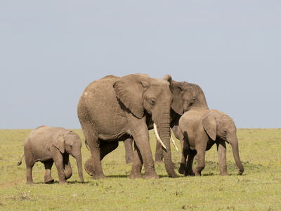 African Elephant (Loxodonta Africana), Masai Mara, Kenya, East Africa, Africa Photographic Print by Sergio Pitamitz
