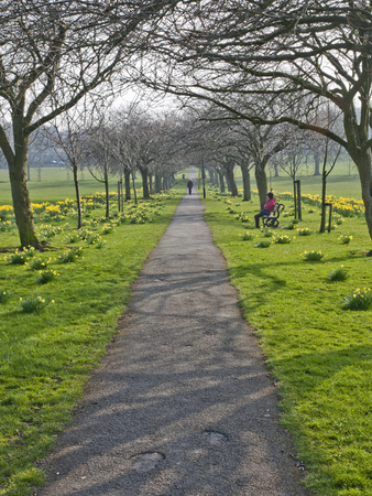 Daffodils on the Stray, Harrogate, North Yorkshire, England Photographic Print by Mark Sunderland
