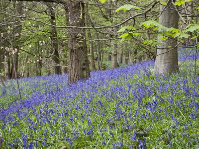 Bluebells in Middleton Woods Near Ilkley, West Yorkshire, Yorkshire, England, UK, Europe Photographic Print by Mark Sunderland