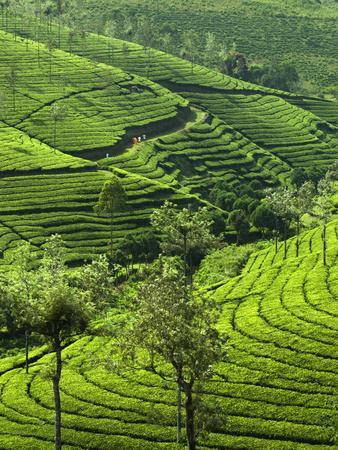 View over Tea Plantations, Near Munnar, Kerala, India, Asia Photographic Print by Stuart Black