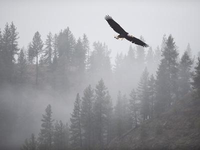 Bald Eagle (Haliaeetus Leucocephalus) Flying over the Trees, Coeur D'Alene Lake, Idaho, USA Photographic Print by Antonio Busiello