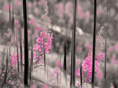Fireweed Photographic Print by Ursula Abresch