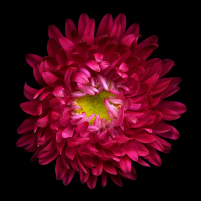 Red Aster II Photographic Print by Magda Indigo