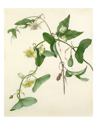 Passiflora misera Premium Giclee Print by Margaret Meen