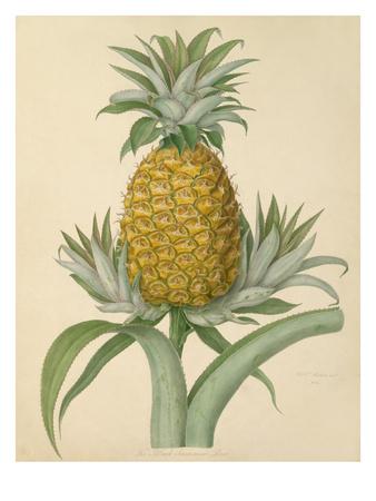 The Black Jamaica Pine Premium Giclee Print by William Hooker