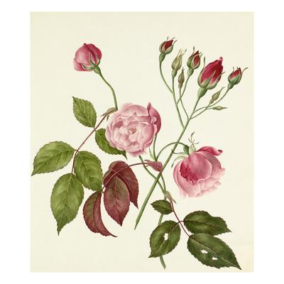 Rosa Chinensis Giclee Print by Caroline Maria Applebee
