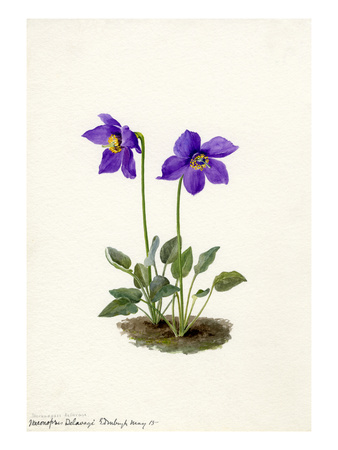 Meconopsis Delavayi Premium Giclee Print by Lilian Snelling