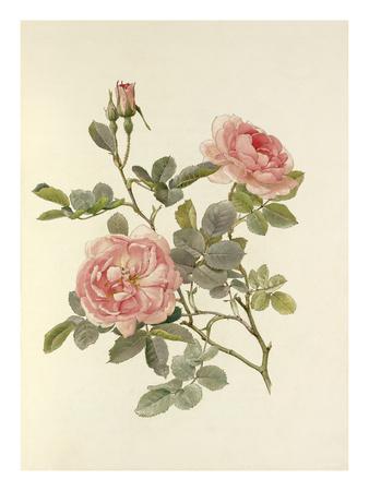 Rosa alba var. rubicunda Celestial Premium Giclee Print by Alfred William Parsons