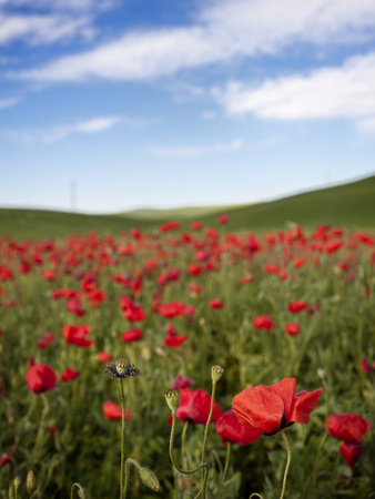 Poppy Field Photographic Print by Marco Carmassi