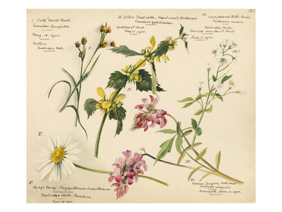 Wildflower composite plate no XVI Premium Giclee Print by Lilian Snelling