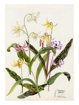 Erythronium hendersoni, Erythronium johnstoni, Erythronium revolutinum, Erythronium hartwegi, Eryth Premium Giclee Print by Lilian Snelling