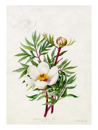 Paeonia clusii Premium Giclee Print by Lilian Snelling