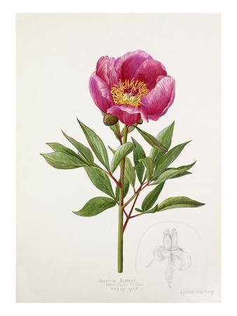 Paeonia broteri Premium Giclee Print by Lilian Snelling