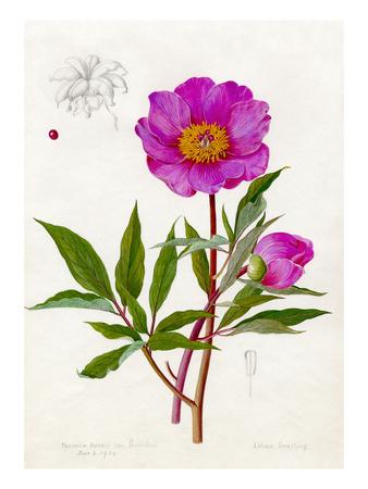 Paeonia Russii var. Reverchoni Premium Giclee Print by Lilian Snelling
