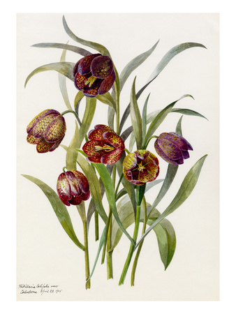 Fritillaria califolia Premium Giclee Print by Lilian Snelling