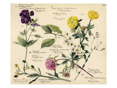Wildflower composite Premium Giclee Print by Lilian Snelling