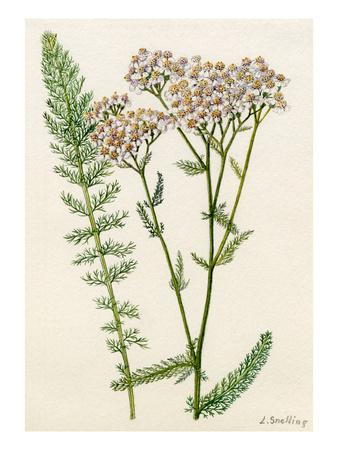 Achillea millefolium Premium Giclee Print by Lilian Snelling