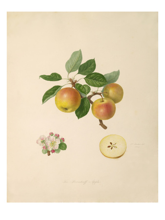 The Borsdorff Apple Lámina giclée por William Hooker
