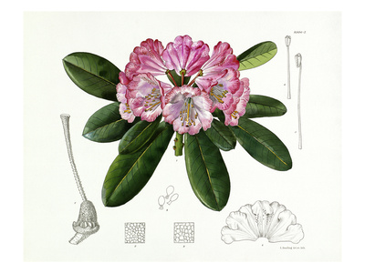 Rhododendron vernicosum Premium Giclee Print by Lilian Snelling