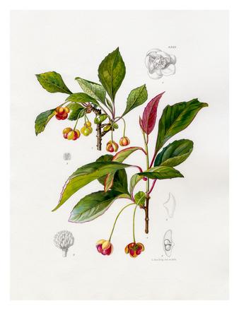 Schisandra sphenanthera Premium Giclee Print by Lilian Snelling