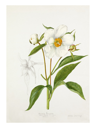 Paeonia emodi Premium Giclee Print by Lilian Snelling