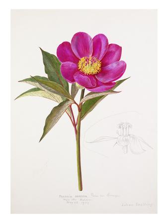 Paeonia russoi var. leiocarpa Premium Giclee Print by Lilian Snelling