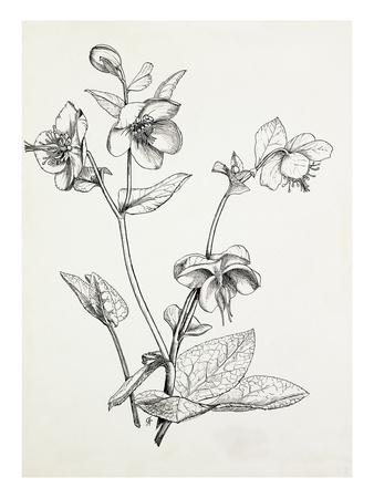 Helleborus lividus Giclee Print by Graham Stuart Thomas