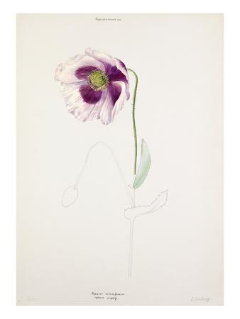 Papaver somniferum Premium Giclee Print by Lilian Snelling