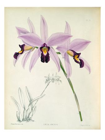 Laelia anceps Premium Giclee Print by John Nugent Fitch