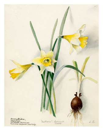 Amaryllidaceae, Narcissus Premium Giclee Print by Lilian Snelling