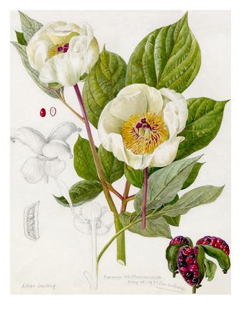 Paeonia whittmanniana Premium Giclee Print by Lilian Snelling
