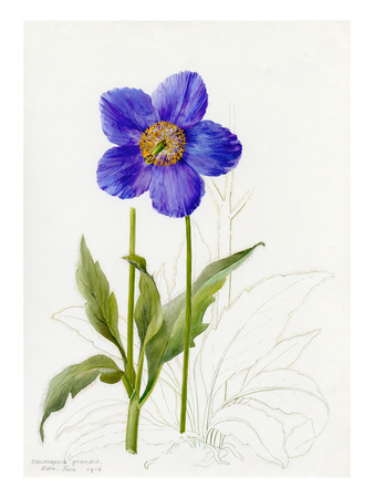 Meconopsis grandis Premium Giclee Print by Lilian Snelling