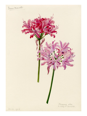 Nerine manselli, flexuosa alba × Lady St Oswald Premium Giclee Print by Lilian Snelling