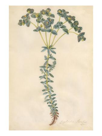 Euphorbia paralias Premium Giclee Print by Georg Dionysius Ehret