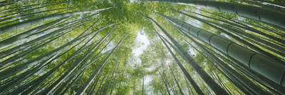 Low Angle View of Bamboo Trees, Hokokuji Temple, Kamakura, Kanagawa Prefecture, Kanto Region, Ho... Photographic Print by  Panoramic Images