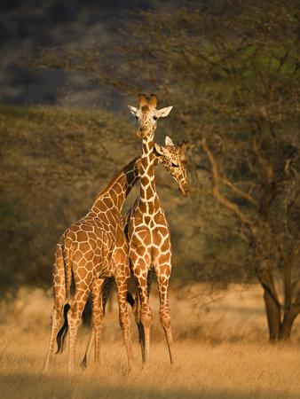 Two Reticulated Giraffes (Giraffa Camelopardalis Reticulata), Kenya Stampa fotografica