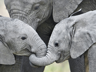 African Elephant Calves (Loxodonta Africana) Holding Trunks, Tanzania Photographic Print
