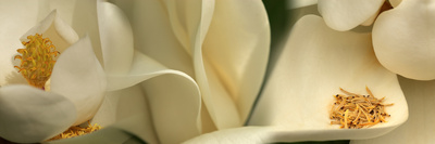 Magnolia Heaven Flowers Photographic Print by  Panoramic Images