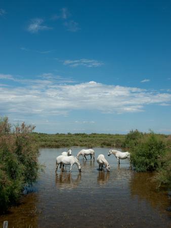 Camargue White Horses in a Lagoon Along D85A, Camargue, Saintes-Maries-De-La-Mer, Bouches-Du-Rho... Reprodukcja zdjęcia