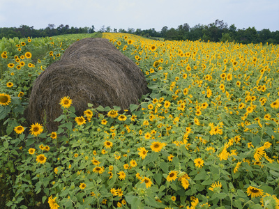 Hay Bale in Sunflowers Field, Bluegrass Region, Kentucky, USA Photographic Print by Adam Jones
