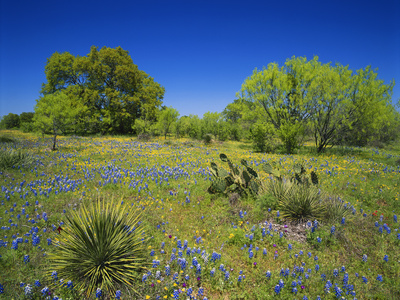 Oak and Mesquite Tree with Bluebonnets, Low Bladderpod, Texas Hill Country, Texas, USA Photographic Print by Adam Jones