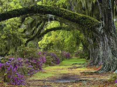 Coast Live Oaks and Azaleas Blossom, Magnolia Plantation, Charleston, South Carolina, USA Photographic Print by Adam Jones