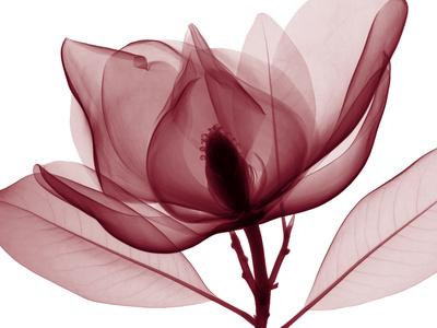 Red Magnolia Giclee Print by Steven N. Meyers