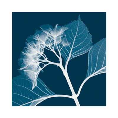 Hydrangeas B (Negative) Giclee Print by Steven N. Meyers
