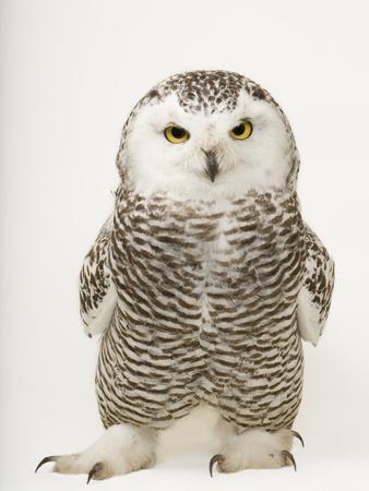 A Female Snowy Owl, Bubo Scandiacus, at Raptor Recovery Nebraska プレミアム写真プリント : ジョエル・サルトル