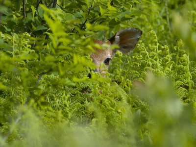 A Day-Old White-Tailed Deer Fawn Hiding in a Bed of Ferns Photographic Print by Paul Sutherland