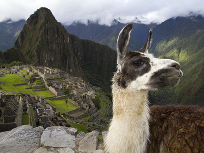 A Llama on a Road Above Machu Picchu Photographic Print by Michael Melford